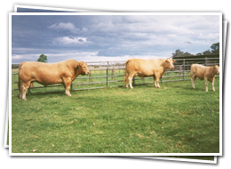 Australian Beef Cattle Breeding - Mandalong Studs  - Mandalong Specials, Tropicana, Square Meaters - Rick Pisaturo